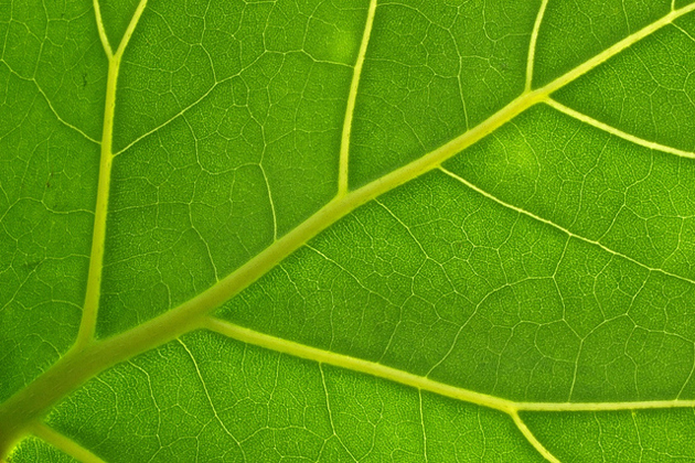Detail of a leaf. Photo: Christoph Rupprecht (Flickr, CC),leaf, detail, green