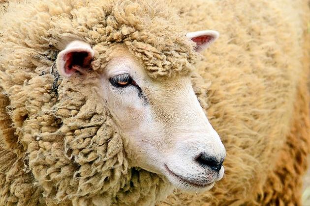 ,sheep,