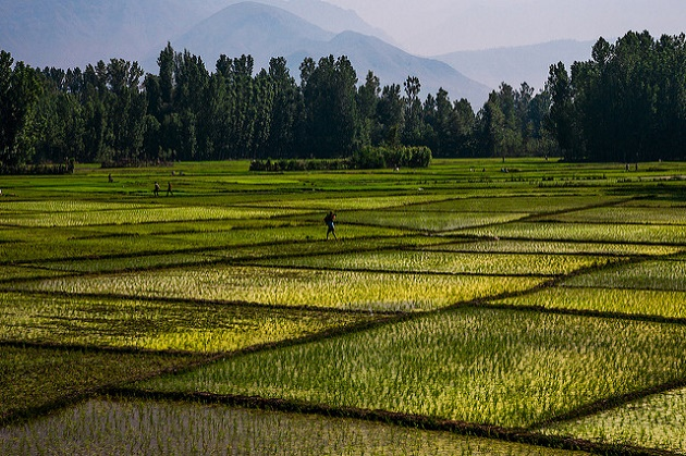 A rice plantation in India. / Flickr (CC),