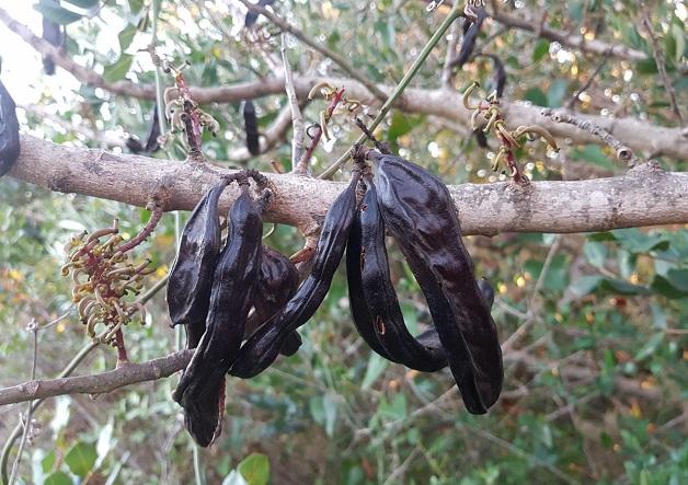 Carob tree.,