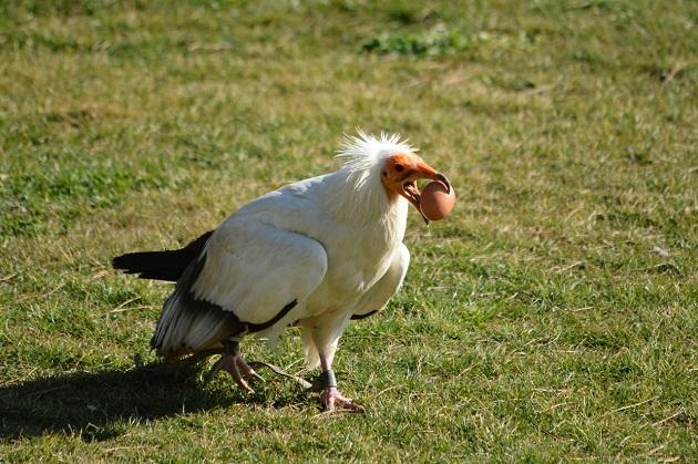 An Egyptian vulture. / Photo: Antonio Cruz,