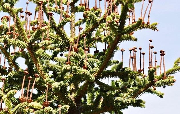 A Spanish fir. ,