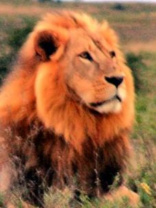 Aslan, the noble lion of Narnia.  / Wikimedia.