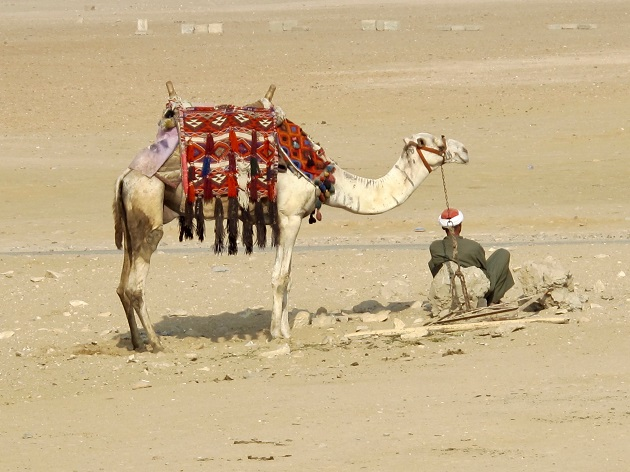 Dromedaries  - Camelus dromedarius - resting next to its owner near the famous Egyptian pyramids, waiting to be hired by a tourist. The camels mentioned in the Bible would have looked like this, as they were, in fact, dromedaries.,