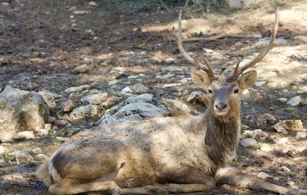 An example of a male Bactrian deer (Cervus elaphus bactrianus), resting in the shade in Jerusalem zoo. / Antonio Cruz.,