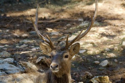 The Bactrian deer, like all deer, have strong antlers, which after falling leave the bony stump from which they had grown. / Antonio Cruz.