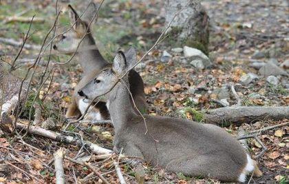 Two female roe deer (Capreolus capreolus) resting in the interior of the forest. / Antonio Cruz