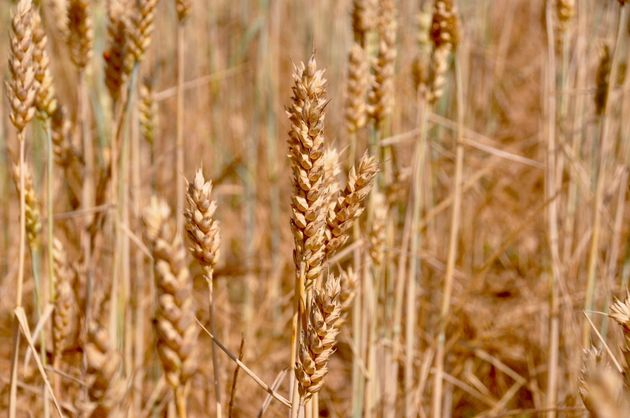 Ears of spelt (Triticum spelta), just before harvest, intended for bread and varieties of flour which are currently highly appreciated. / Photo: Antonio Cruz,