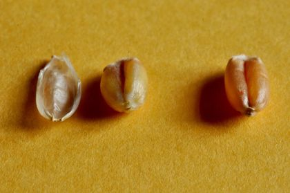 Spelt grains (on the left of the photo) is protected from insects by its husk or glumella, while wheat grains are genetically modified (on the right of the photo) is clean and has no such protection. / Photo: Antonio Cruz