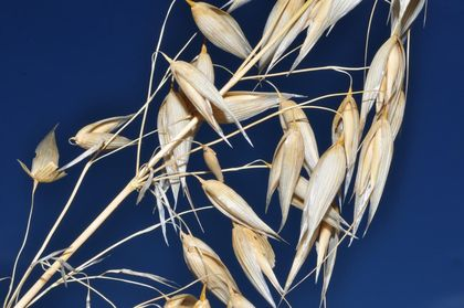In the case of oats (Avena sativa), the flowers are grouped in pairs, in their respective hanging ears.