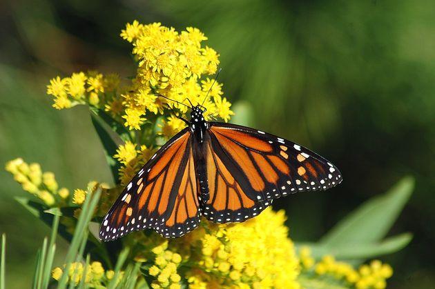 Monarch butterfly. / Pixabay,