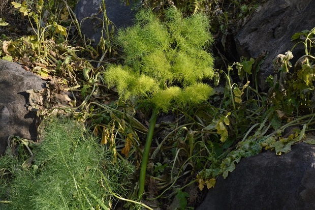 Commun galbanum (Ferula communis) is the most abundant of the Ferula species, and can be found throughout the territory of Israel. I took this photograph in the ruins of Bethsaida, to the north east of the Sea of Galilee.,