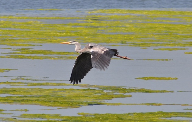 The flight of the grey heron is direct, with its wings spread very wide and its head held back.. / Photo: Antonio Cruz,
