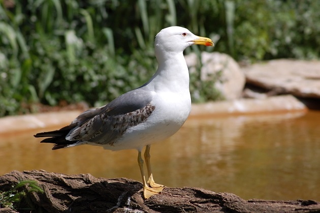 The Caspian Gull (Larus cachinnans), a common species in Israel. The photo was taken in the Jerusalem zoo, where they often come in search of food. / Photo: Antonio Cruz,