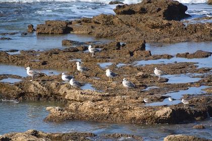 A group of Caspian gulls (Larus cachinnans) resting on the rocks of the Mediterranean coast at Caesaria (Israel). / Photo: Antonio Cruz
