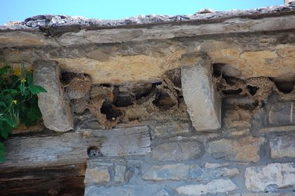 Swallows' nests, which they build year after year under the eaves of houses, are a good indicator of the state of the environment. They are birds which flee contamination in cities and prefer towns with small human populations. / Photo: Antonio Cruz