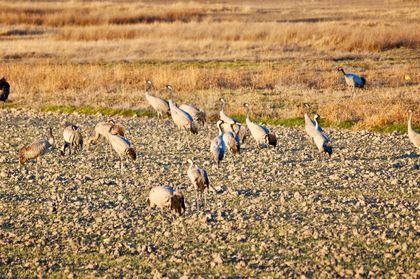 At the start of autumn and winter, during their migratory journeys, groups of cranes can be seen searching for seeds, insects and other small animals in the countryside of Israel. / Photo: Antonio Cruz